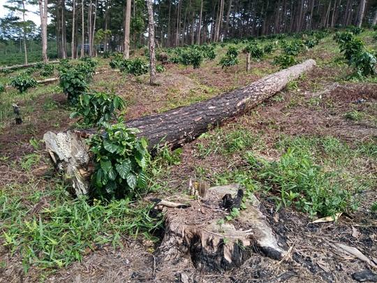 Lâm Đồng: Lấn chiếm đất rừng còn hành hung đoàn kiểm tra - Ảnh 8.