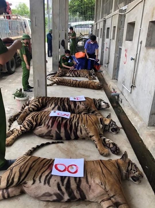 Vụ 17 con hổ lớn nuôi trong nhà dân: Thả về tự nhiên hổ có xu hướng kiếm ăn gần khu dân cư - Ảnh 1.