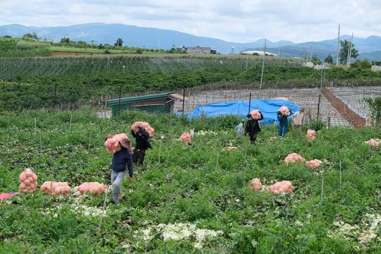 6.000 tấn rau sạch từ Lâm Đồng chuyển tặng TP HCM - Ảnh 3.