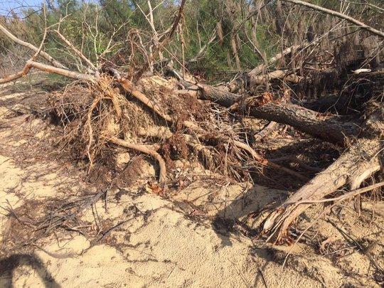 """Tình tiết bất ngờ vụ phá """"nhầm"""" 5,26 ha rừng phòng hộ ven biển Bình Định - Ảnh 1."""