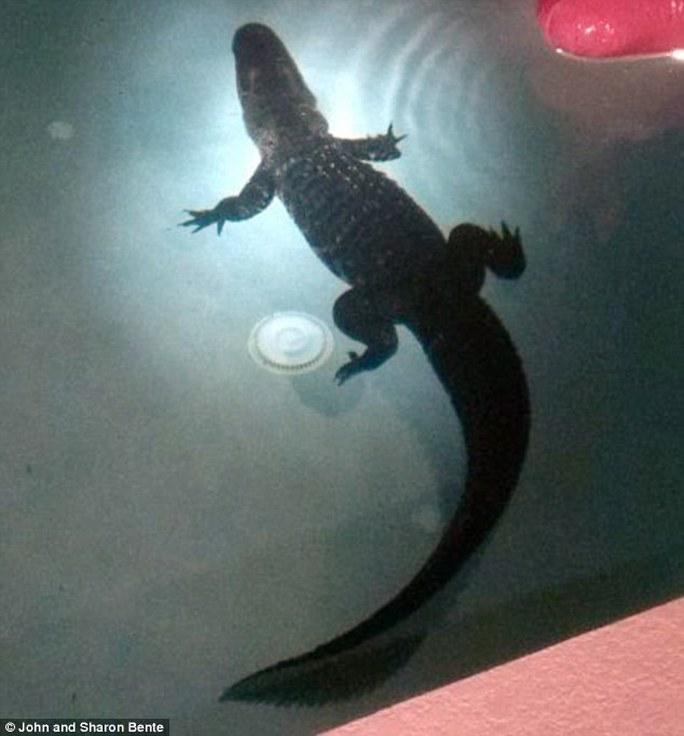 Con cá sấu dài khoảng 2,5 m. Ảnh: Daily Mail