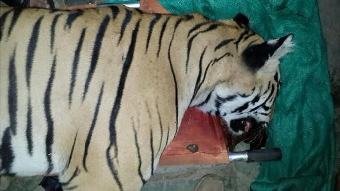 Hổ Ấn Độ. Ảnh: BBC