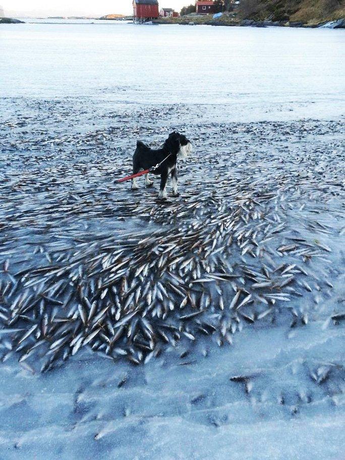 Đàn cá tuyết bị đóng băng ở Na Uy. Ảnh: Norwegian Broadcasting Corporation
