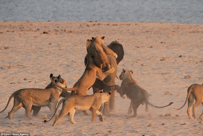 All aboard: The lionesses take it in turns to jump on to the elephants back, while its makes a beeline for the safety of the water