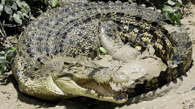 Cá sấu nước mặn sống phổ biến ở phía Bắc Australia. Ảnh: AP