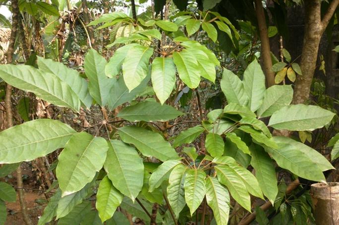 Cây lá đắng, đặc sản của người miền núi Thanh Hóa.