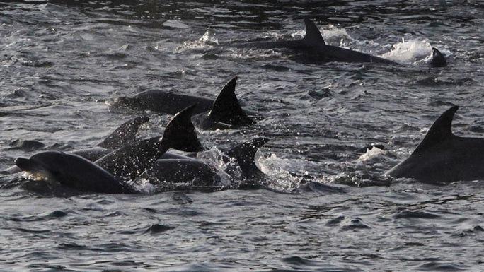 Bộ Quốc phòng Nga đã kiểm soát đơn vị cá heo sát thủ do Viện Hải dương học Nhà nước Sevastopol ở Crimea huấn luyện. Ảnh: Reuters