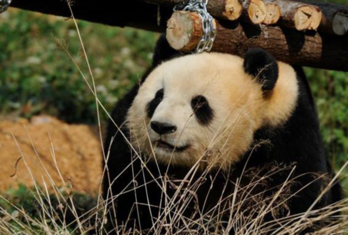 Sad pandaface: Sija and two other pandas were saved from the 2008 earthquake in Wenchuan, China, and taken in by a zoo, but now that the others have left, Silja has become depressed