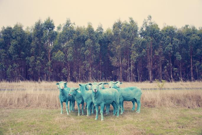 Lạ lùng những chú cừu mang sắc cầu vồng