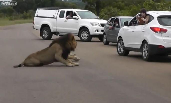 Sư tử đực gầm gừ và nhổm về phía hai đứa trẻ. Ảnh: Dailymail