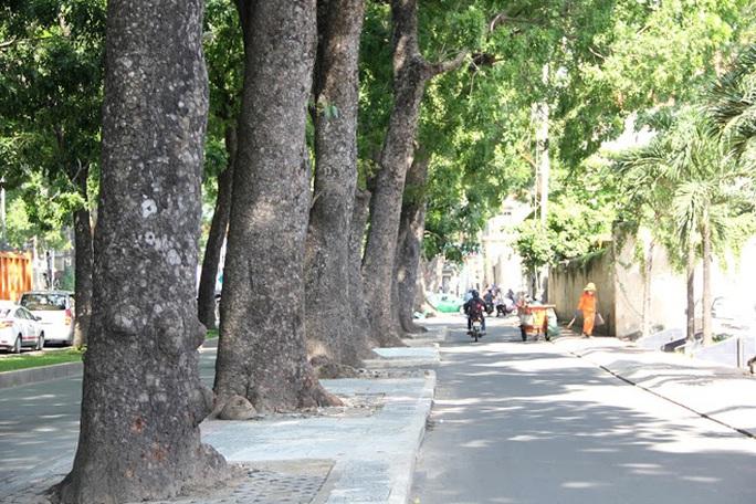 Những cây này chủ yếu là sọ khỉ hay còn gọi là xà cừ. Loại cây này nằm trong danh mục cây mà UBND TP cấm trồng vào cuối năm 2013 do rễ ăn ngang, lồi trên mặt đất gây hư hỏng vỉa hè mặt đường