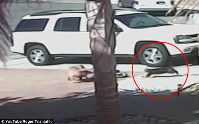 Mèo đánh chó cứu cậu chủ nhỏ