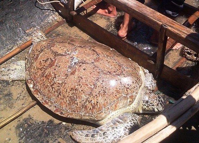 Đây là loại rùa quý hiếm thuộc họ Vích có nguy cơ tuyệt chủng cao
