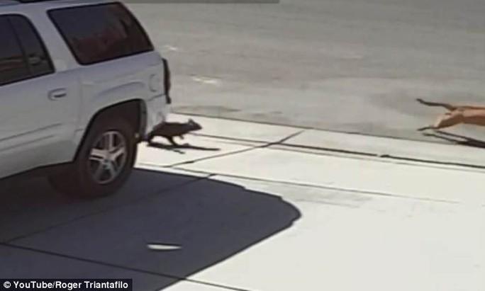Nó bị con mèo đen Tara lao vào tấn công và rượt chạy trối chết. Ảnh: Youtube
