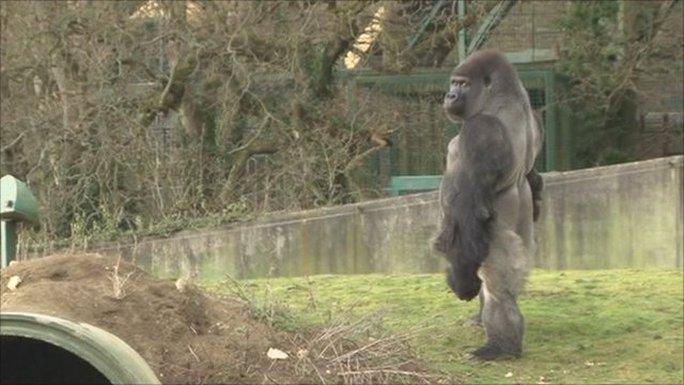 Khỉ Ambam có khả năng đứng thẳng như người từ năm 1 tuổi
