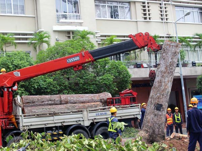 Các nhân viên công ty cây xanh dùng xe cẩu để kéo đổ các gốc cây to