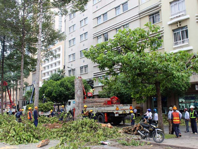 Những cây cổ thụ lớn lần lượt bị cắt cành và cưa thành từng đoạn