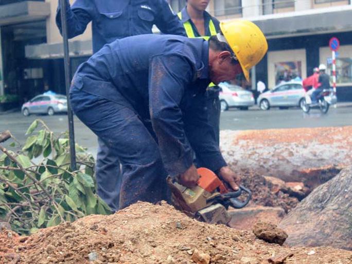 Công nhân dùng cưa để cưa đứt những cái rễ lớn cắm sâu dưới đất
