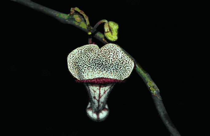Hoa của loài Aristolochia xuanlienensis thuộc họ Nam mộc hương mới được phát hiện trên thế giới