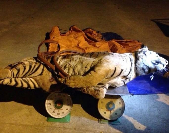 Cá thể hổ nặng 120kg bị cơ quan công an thu giữ. Ảnh: Nghĩa Đàn