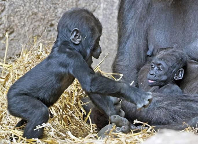 Khỉ con Jengo (trái) và em gái Diara (phải)