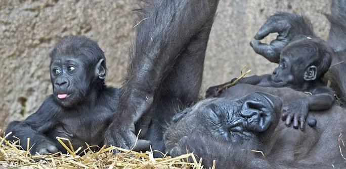 Hai anh em khỉ chơi đùa bên khỉ mẹ
