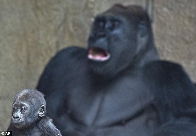 Khỉ Jengo bên khỉ cha