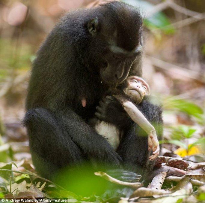 Khỉ mẹ buồn bã ôm chặt xác con