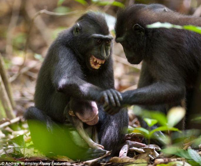 Trong ảnh, khỉ mẹ nhe răng đe dọa con khỉ đực đang chạm vào khỉ con.