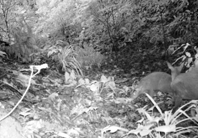 Loài Mang Rooseveltorum có trong sách đỏ được cho đã tuyệt chủng 85 năm trước được tìm thấy ở Khu bảo tồn thiên nhiên Xuân Liên