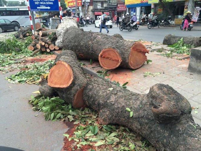 Nhiều gốc cây xà cừ hàng chục năm tuổi, có đường kính chừng 2 vòng tay người ôm đã bị hạ gục và cưa thành từng khúc để ngổn ngang trên đường