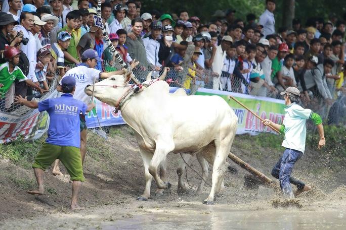 Một chú bò sau khi hất tung chủ của mình bất ngờ chạy về phía khán giả khiến các chủ bò không khỏi hốt hoảng