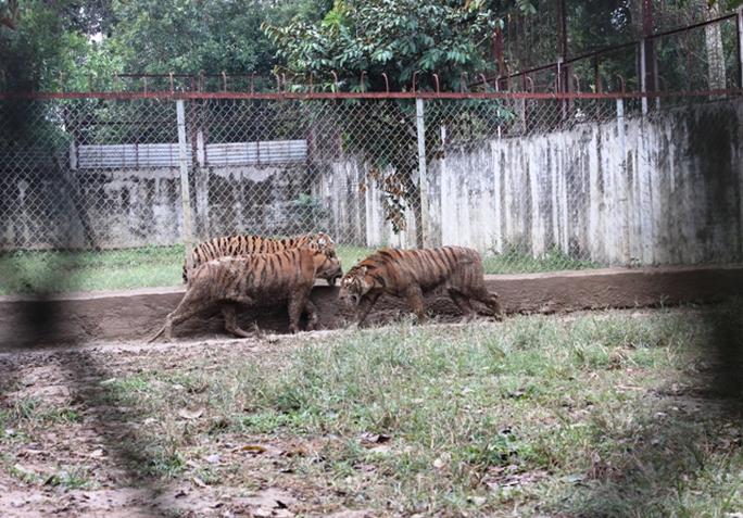 Đột nhập trại nuôi hổ lớn nhất ở Thanh Hóa - Ảnh 2.