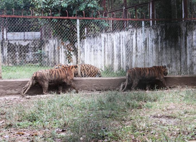 Đột nhập trại nuôi hổ lớn nhất ở Thanh Hóa - Ảnh 1.