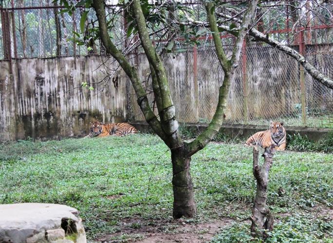 Đột nhập trại nuôi hổ lớn nhất ở Thanh Hóa - Ảnh 7.
