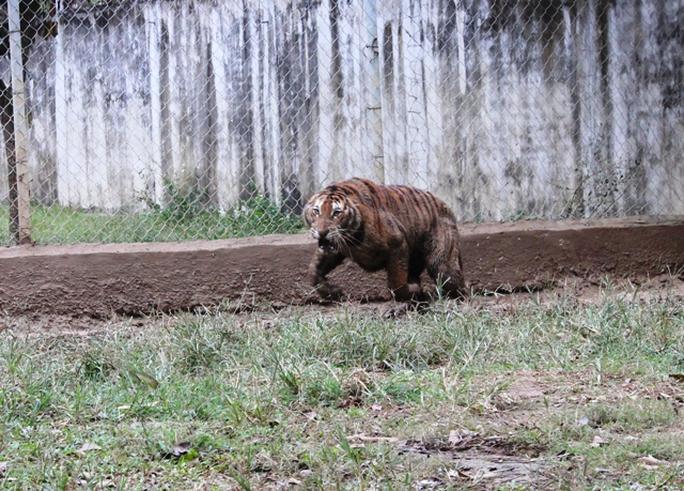 Đột nhập trại nuôi hổ lớn nhất ở Thanh Hóa - Ảnh 9.