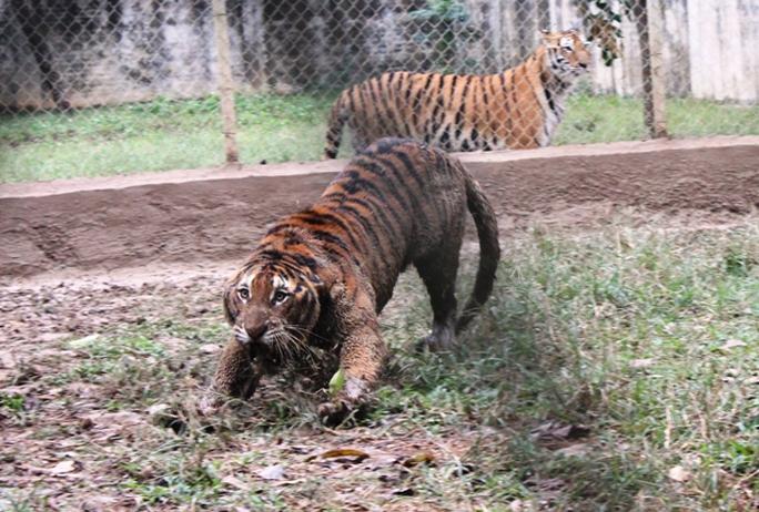 Đột nhập trại nuôi hổ lớn nhất ở Thanh Hóa - Ảnh 10.