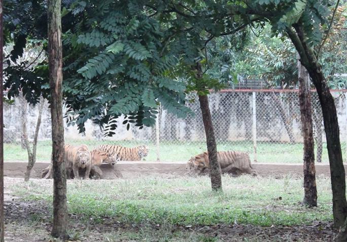 Đột nhập trại nuôi hổ lớn nhất ở Thanh Hóa - Ảnh 6.