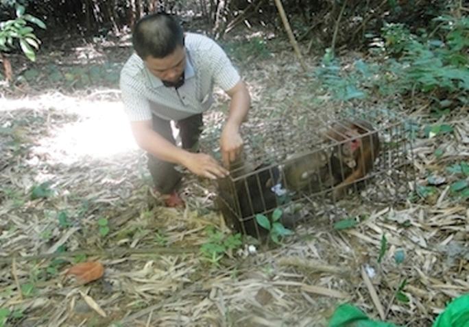Cán bộ Trung tâm cứu hộ động vật hoang dã Vườn Quốc gia Pù Mát thả các cá thể khỉ mặt đỏ về rừng.