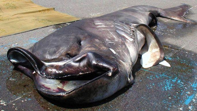Con cá mập miệng rộng 1,5 tấn sa lưới ngư dân Nhật