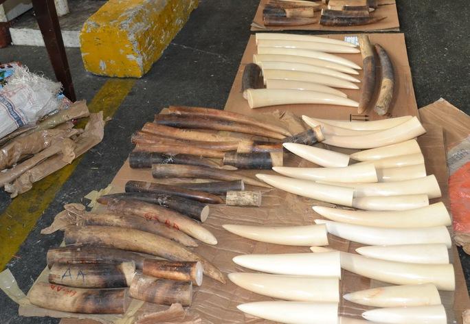 Số ngà voi nhập lậu, trong 1 lần bị Chi cục Hải quan cửa khẩu sân bay quốc tế Tân Sơn Nhất (TP HCM), phát hiện bắt giữ trong năm 2014. Ảnh Hải quan cung cấp.