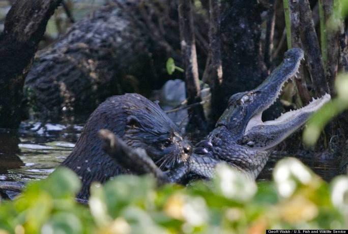 Rái cá tấn công và ăn thịt cá sấu nhỏ