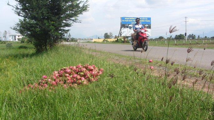 Thanh long rớt giá, người dân đổ bỏ trên quốc lộ ở Bình Thuận