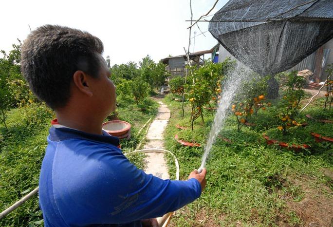 Quýt hồng Lai Vung trồng trong chậu mất đến 30 tháng để chăm sóc