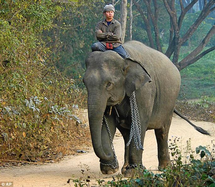 Tại Thái Lan, voi được thuần phục còn nhiều hơn cả voi trong thiên nhiên hoang dã. Ảnh: AP