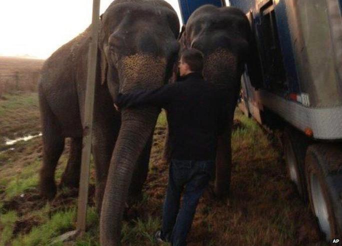 Hai chú voi đỡ chiếc xe tải khỏi bị lật nhào. Ảnh: AP