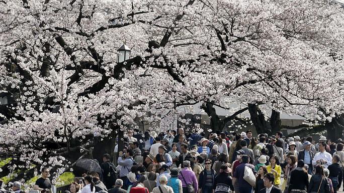 Du khách ngắm hoa anh đào nở rộ tại thủ đô Tokyo. Ảnh: EPA