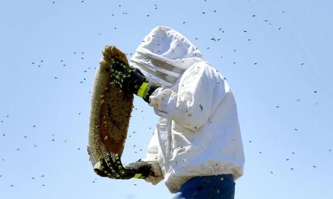 Một chuyên gia về ong đang bắt ong trong ống khói ở TP Phoenix. Ảnh: AP
