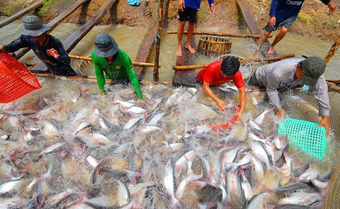 Người nuôi cá tra ở ĐBSCL đang gặp khó vì giá bán giảm Ảnh: NGỌC TRINH