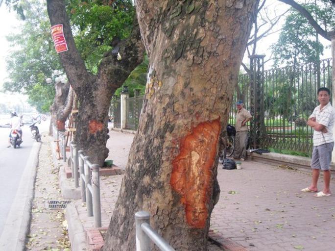 Trên tuyến đường Lê Duẩn gần hàng rào công viên Thống Nhất có 9 cây xà cừ bị lột vỏ